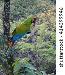 Small photo of Great Green Macaw (Ara ambiguous)