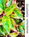 Small photo of Aglaonema modestum