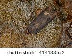 Small photo of Ipsilon Dart, Hodges #10663, Agrotis ipsilon