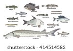 freshwater fish illustrations.... | Shutterstock .eps vector #414514582