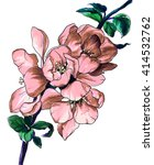 pink quince flower in blossom.... | Shutterstock . vector #414532762