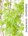 Small photo of Acer palmatum Sangokaku