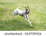 English Pointer Dog