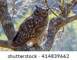This Spotted Eagle Owl  Bubo...