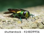 Agrilus Planipennis   Emerald...