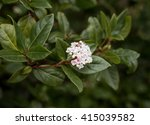 Small photo of Viburnum Adoxaceae plant close up photo