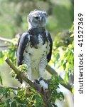 Rare Central American Harpy...