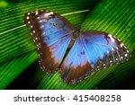 blue morpho  morpho peleides ...   Shutterstock . vector #415408258