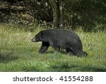 Adult black bear (Ursus americanus) in meadow. The difference between the black and grizzly bears is clear in the absence of shoulder hump and straight line of the face from the forehead to the nose. - stock photo