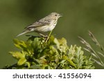 tree pipit   anthus trivialis... | Shutterstock . vector #41556094