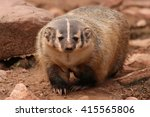 Small photo of American Badger