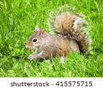 Grey Squirrel Eating In Grass.