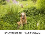 golden dogs in the flowers and... | Shutterstock . vector #415590622