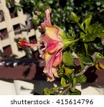 showy pink suffused with orange ... | Shutterstock . vector #415614796