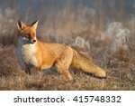 mammals   red fox  vulpes... | Shutterstock . vector #415748332