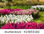 Hyacinth Flowers. Spring Garden