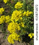 Small photo of Goldentuft Alyssum flowers