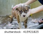 puppy pitbull dog getting a bath | Shutterstock . vector #415921825
