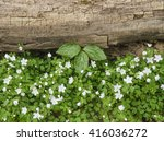 Small photo of Anemone and a Prairie Trillium grow in the spring besides a log on the forest floor, Maple Grove Forest Preserve, DuPage County, Illinois