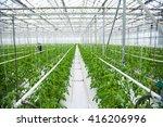 Tomatoes Ripening On Hanging...