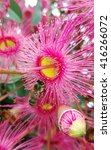 Small photo of Stunning pink Corymbia gumtree blossoms with a honey bee visitor, Australia