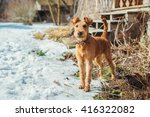 Irish Terrier Dog Puppy Playin...