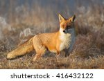 mammals   red fox  vulpes... | Shutterstock . vector #416432122