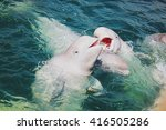 Two beluga whales swimming in...