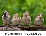 House Sparrow Male With His...