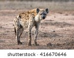 wild spotted hyena posing on... | Shutterstock . vector #416670646