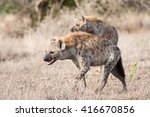 a clan of wild spotted hyenas... | Shutterstock . vector #416670856