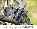 Family Ring Tailed Lemur  Lemu...