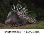 malayan porcupine hystrix... | Shutterstock . vector #416928286