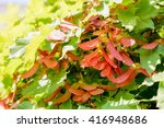 Small photo of Close up detail of maple tree, Acer circinatum, red samara, on a background of green leaves, illuminated by a strong spring sun