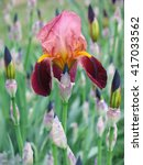 Maroon Iris A Background Of...