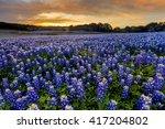 Beautiful Bluebonnets Field At...