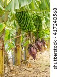 Row Of Banana Trees With A...