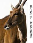 Small photo of Eland Antilope alcina white background isolated