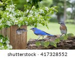 Family Of Eastern Bluebirds...