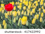 Single Red Tulip Among Many...
