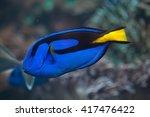 Blue Surgeonfish  Paracanthuru...