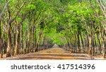 Path Rubber Tree So Beautiful...
