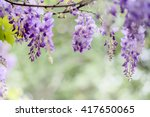 Close Up Of Blooming Wisteria...