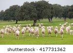 Sheep Grazing On A Green Meado...
