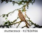 The Common Kestrel A Bird Of...