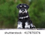 Black Miniature Schnauzer Pupp...