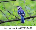 Perching blue jay