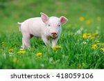 Stock photo young funny pig on a spring green grass 418059106