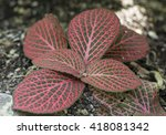 Small photo of Red agavaceae leafs close up view