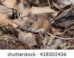Wood Mouse In Deep Leaf Litter...